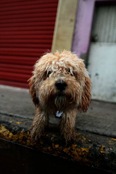 Peludo #streetphotography #photography #Journalist #EyeEmNewHere #EyeEm Pets Dog Animal Hair Close-up Hairy  Tangled Hair Pet Clothing Animal Eye Pet Leash Canine Collar