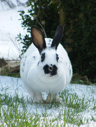 Animal Themes Black And White Rabbit Close-up Day Domestic Animals Freckles Garden In Winter Grass Looking At Camera Mammal Nature No People Old English Rabbit One Animal Outdoors Pets Portrait White Color White Rabbit White Rabbit In Snow Winter Pet Portraits