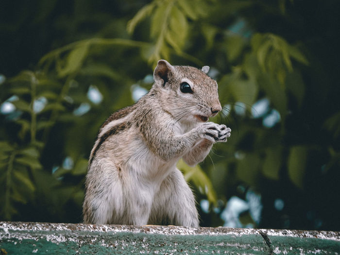 Close-up of a squirrel eating