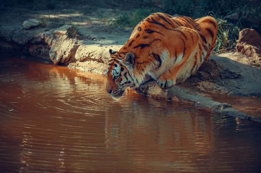 A Tiger drinking water on a small Lake Beautiful Dangerous Animals India Animal Animal Themes Animal Wildlife Animals In The Wild Big Cat Carnivora Cat Drink Drinking Feline Lake Mammal Nature No People One Animal Powerful Rare Reflection Relaxation Tiger Undomesticated Cat Water
