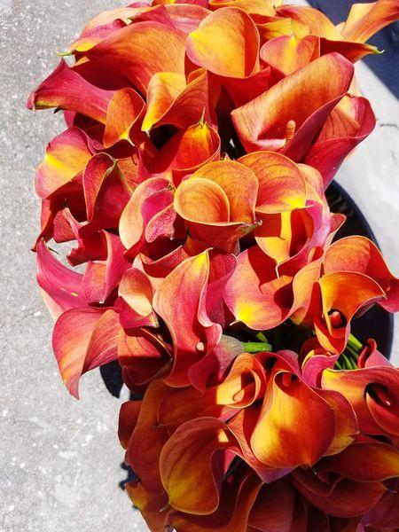 Calla Lilies Close-up Flower Head Growth Nature Flower Flowerchild Beauty In Nature Outdoors