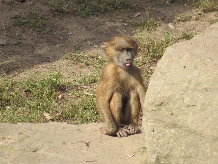 Baboon Monkey