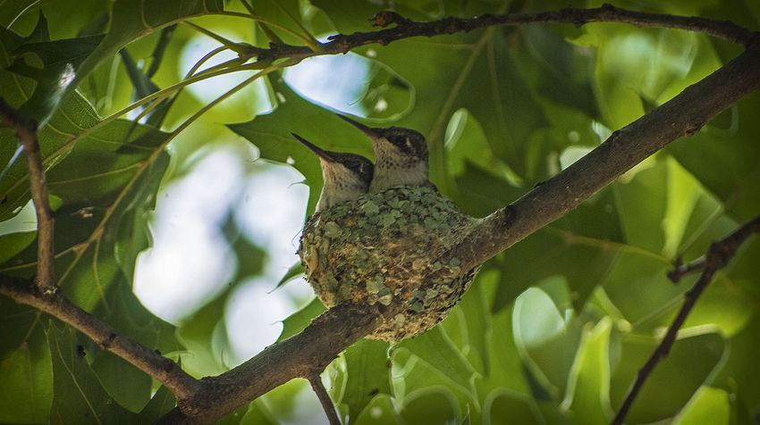 Animal Themes Animals In The Wild Baby Baby Birds Birds Daddynewt Focus On Foreground Fragility Growing Growth Hummingbird Nature Nature Nature Photography Nest New Life No People Wildlife