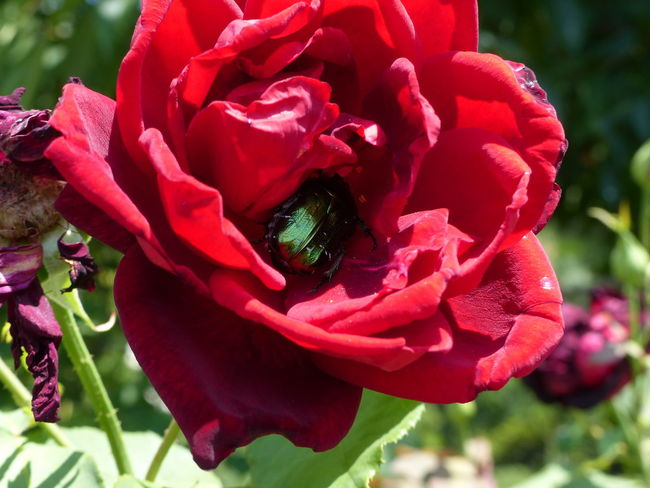 In The Red Animal Wildlife Beetle Close-up Day Flower Flower Head Rosebug Rosé