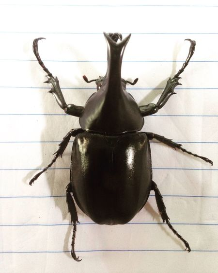 Dynastinae กวาง ด้วง ด้วงกว่าง