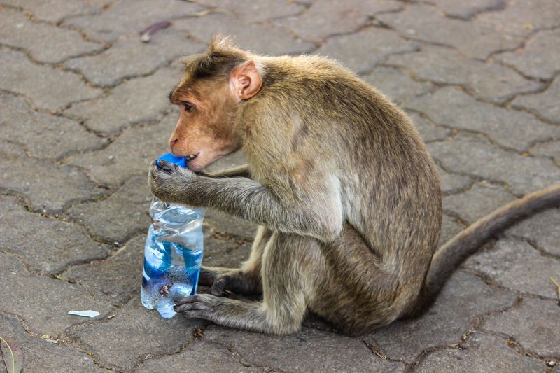 MONKEY IS THIRSTY... TRYING TO OPEN THE CAP OF THE WATER BOTTLE Thirsty  EyeEm Selects Monkey Mammal Animal Wildlife Outdoors Sitting One Animal Animals In The Wild No People Day