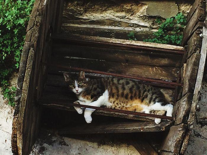 Cat Barrel Old