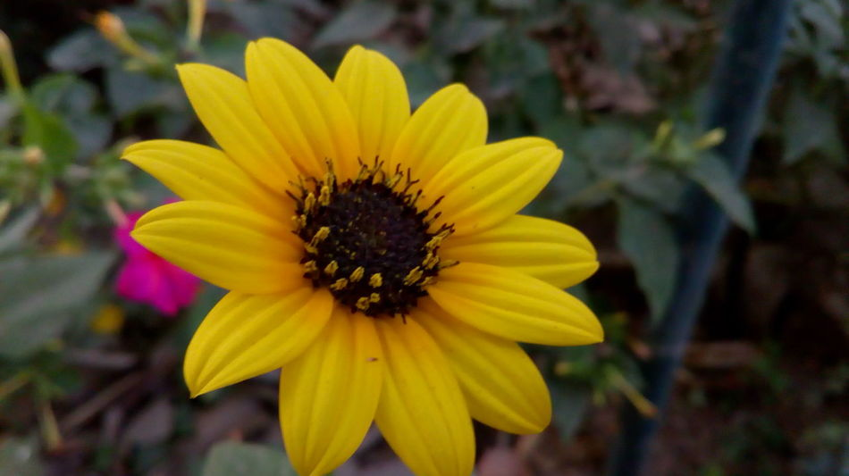 Sunflower🌻 Flower Petal Yellow Fragility Flower Head Nature Plant Freshness Beauty In Nature No People Outdoors Day Outdoor Pursuit Focus On Foreground Growth Close-up Springtime Black-eyed Susan Living Organism Art Is Everywhere EyemBest Shots Beatiful View Colorfull Art Blossoming Fresh & Bright