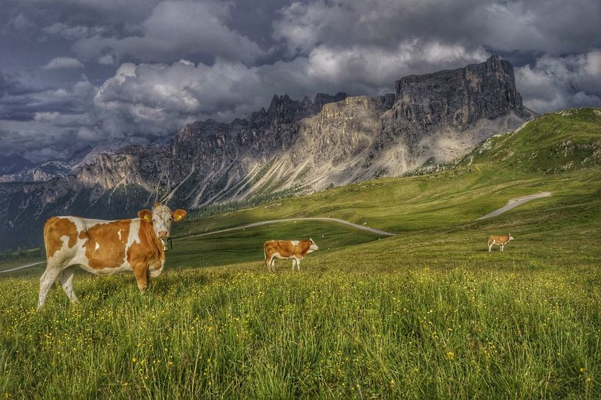 Grass Mountain Mammal No People Nature Sky Bovine Cattle Alps Storm Mountain Range Italy Cow Clouds Grass Field Farm Animals Dolomites HDR Mountain Peak Passo Giau Colle Santa Lucia San Vito Di Cadore Landscape Outdoors