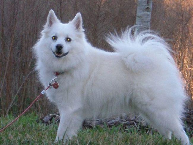 American Eskimo Eskie Powder Powderpuff Dogs Dogslife Dog Love GayneGirlPhotography