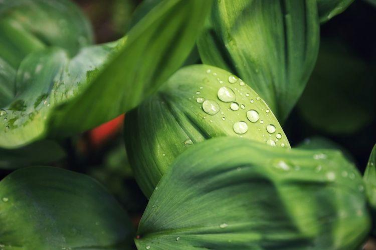비 개인 아침 . . #하루한컷 #가마쿠라 #빗방울 #물방울 #5DMARK4 #신계륵 #EF2470F28LIIUSM Water Leaf Drop Close-up Green Color