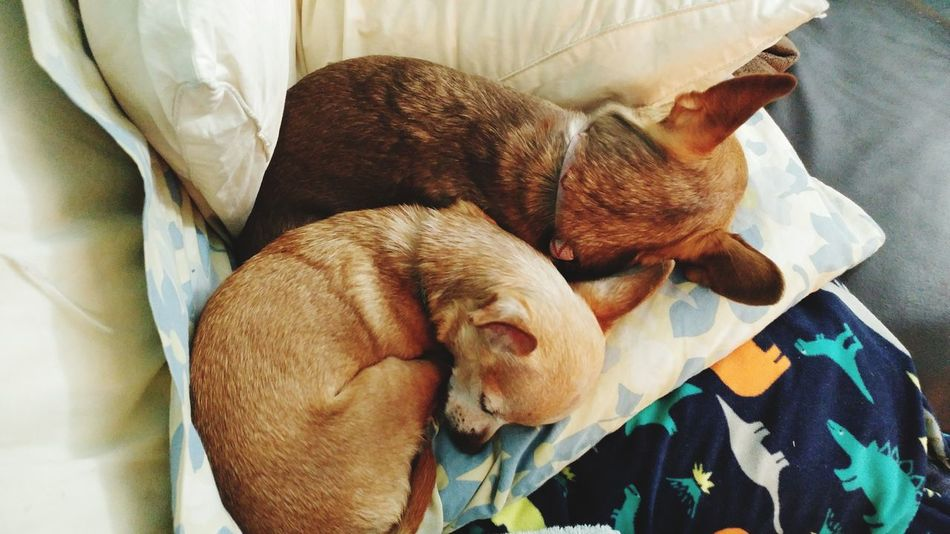 EyeEm Selects Pets Dog Domestic Animals Sleeping Indoors  Mammal Animal Themes One Animal No People Relaxation Bed Close-up Day Teacupchihuahua Tea Cup Chihuahua Sisters Love Loyal Loyal Dog Pet Portraits EyeEm Ready