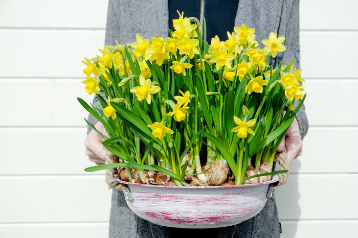 Day Easter Sunday Flower Flower Head Freshness Holding Mothersday Narcissus Narcissus Flowers One Person People Present Spring Flowers Spring Has Arrived Yellow Color Yellow Flower Yellow Flowers