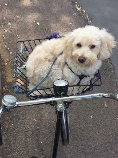 Bruce ❤️ Travelling Milanese Milano Poodle Animal Themes Animal Transportation Vertebrate Road High Angle View Leash Looking At Camera Portrait Mode Of Transportation Day Bicycle No People