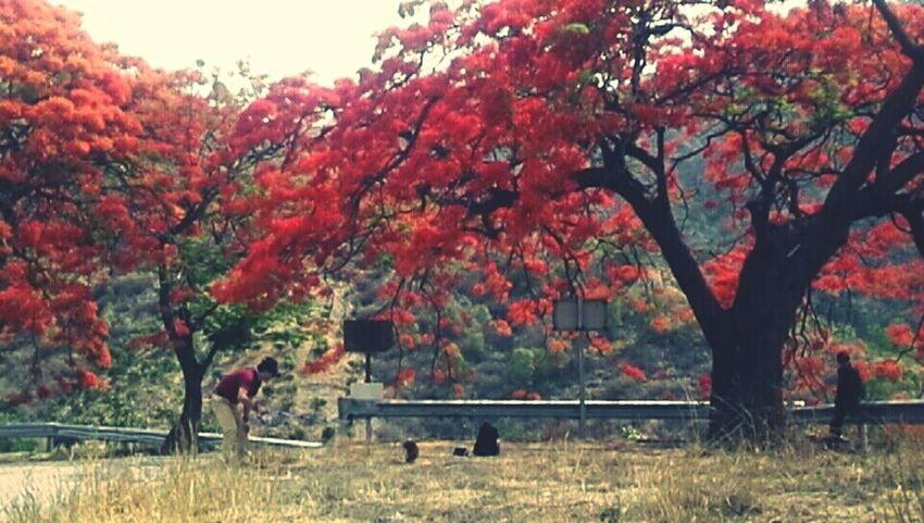 凤凰树系列11 Tree Branch Autumn Grass Sky