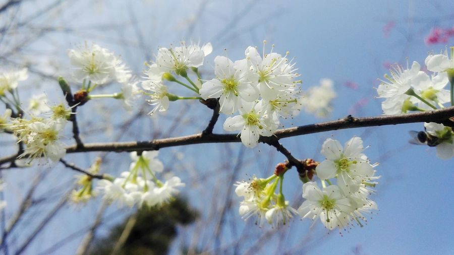 Growth Branch Blossom Nature Beauty In Nature Flower Twig Tree Plant Springtime Close-up Flower Head No People Outdoors Day Plum Blossom