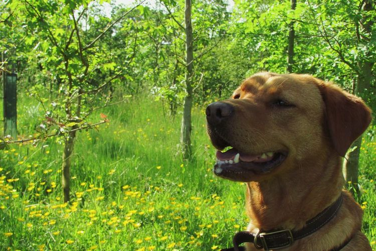 Red Lab Fox Red Lab Labrador One Animal Canine Dog Animal Themes Pets Domestic Plant Green Color Nature Growth Domestic Animals Vertebrate Mammal No People Looking Animal Tree Land Day Animal Body Part