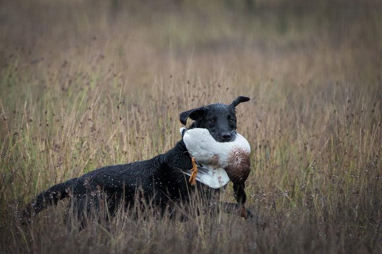 Some shots from a game shoot on the Garple estate in Ayrshire, Scotland Cocker Spaniel  Duck Shooting Gundog Retriever Dog Shotgun Game Shooting Labrador Black Labrador Scottish Country Estate Grass Field Nature