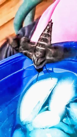 Blue Close-up Insect No People Animal Themes Butterfly - Insect Day Outdoors Moth Hummingbird Moth Butterfly Drinking Tea Sweet Tea FUNNY ANIMALS Flying Insect Butterfly ❤ Strange Moments Natures Diversities Holding In Hand Making Memories Diverse Nature Wild Animal Animal Themes Ice Cubes