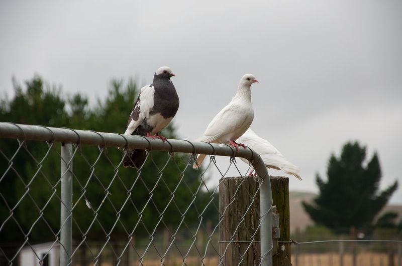 Birds on a metal gate Birds Of EyeEm  Animal Themes Bird Birds Birds On A Gate Perching Pigeon Togetherness White Bird