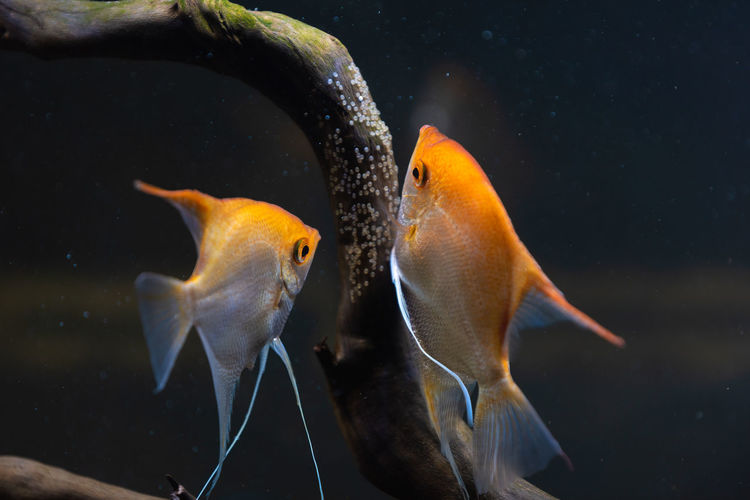 Pair of gold pterophyllum scalare in aqarium, yellow angelfish lays its eggs. roe on wooden branch.