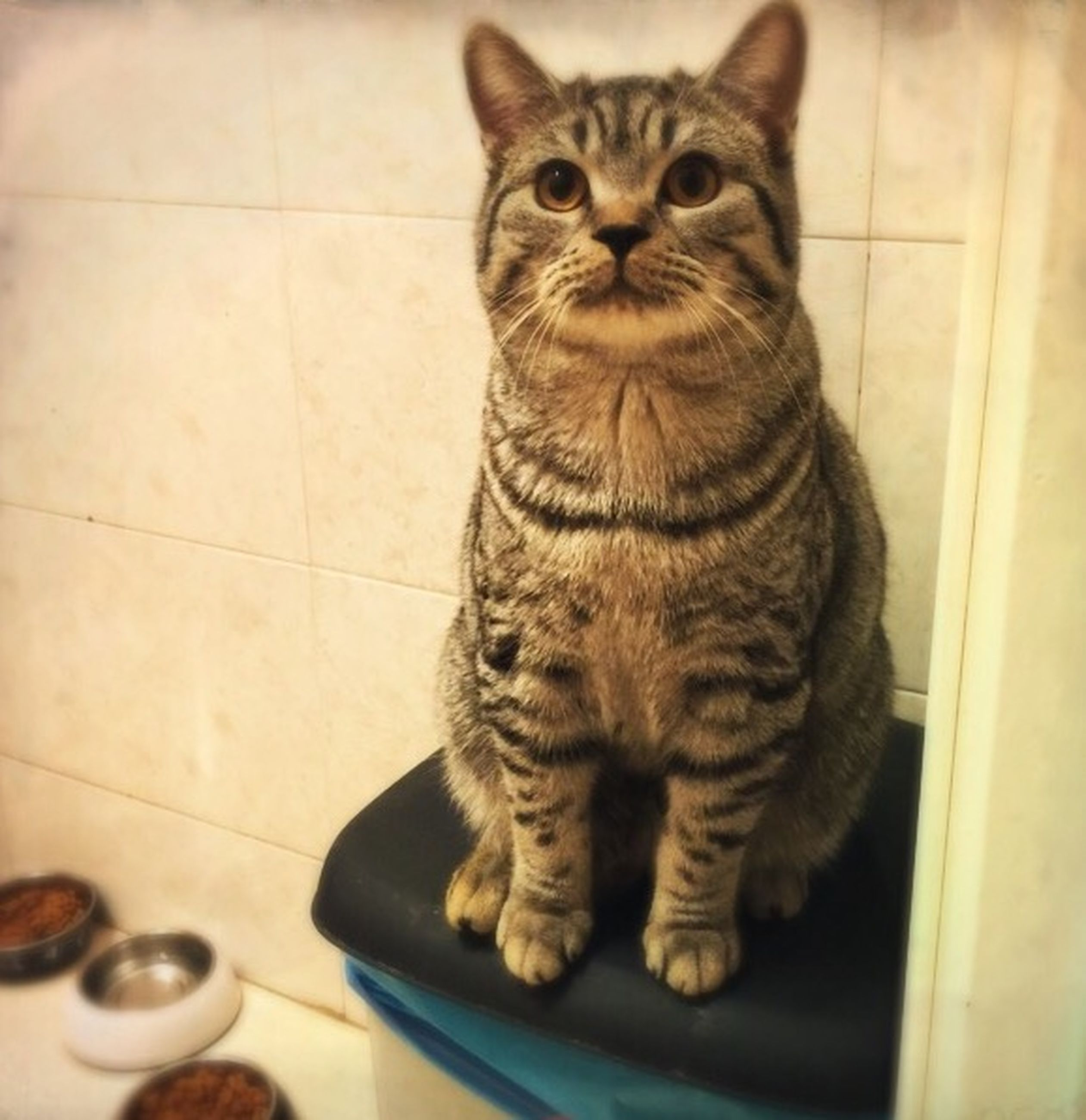 domestic cat, animal themes, cat, pets, one animal, feline, mammal, indoors, domestic animals, whisker, portrait, looking at camera, sitting, relaxation, staring, full length, close-up, high angle view, alertness