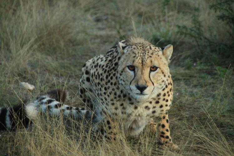 Wild cheetah facing the photographer