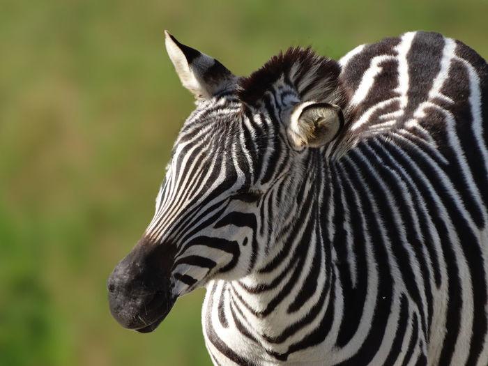 Zebra Dolichohippus Equidae Hippotigris Animal Markings Animal Themes Animal Wildlife Animalia Animals In The Wild Black And White Striped Coats Close-up Equus Mammal Mammalia Nature Portrait Safari Animals Zebra