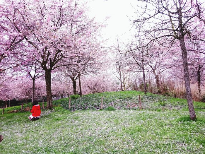Springtime Spring Childhood Girlhood Sakura Sakura Blossom Cherry Blossoms Cherry Blossoms Tree Flower Grass Sky Green Color Blooming In Bloom Flower Head Single Flower Passion Flower Fragility Petal Plant Life