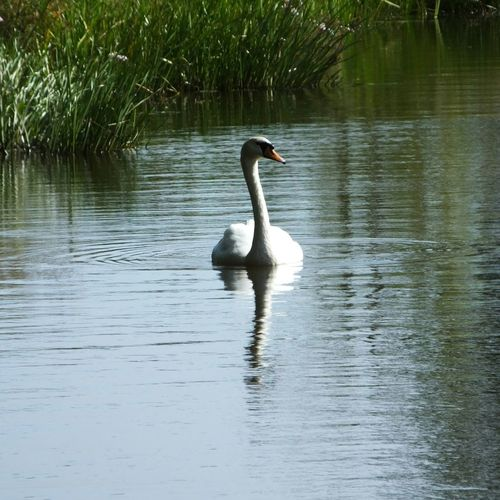 Gliding on the Lancaster canal. EyeEm Nature Lover Photosofengland Swan The Purist (no Edit, No Filter) Nature_collection Nature_perfection Tranquility Summer2015 EyeEm Birds