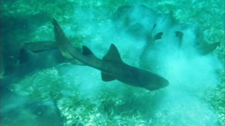 Underwater Capture wild Grey Nurse Shark Oceanview Underwater Capture Cayecaulker Caribbean Nurseshark Memories Cruiselife DesrochesPhotography