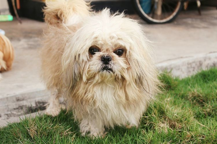 He looks funny.hahaha My Puppy Puppy Shihtzu Animal Photography I Love My Dog Vscocam Puppy Love Art