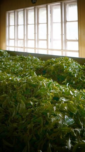 Window Plant Growth Indoors  Green Color Nature Day Leaf Plant Part No People Vegetable Close-up Sunlight Architecture Agriculture Organic Beauty In Nature Food And Drink Food