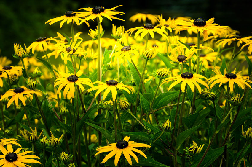 flowers in a park Beauty In Nature Black-eyed Susan Blooming Day Field Flower Flower Head Fragility Freshness Growth Nature No People Outdoors Plant Yellow