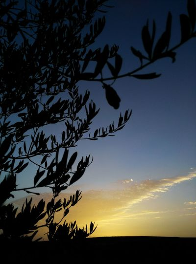 Olive Tree Taking Photos Relaxing Check This Out Enjoying Life Hanging Out Hello World Contryside Open Space Under Shadows Relaxing Taking Photos Nature Bleu Sky Calmness Farmland Sunset Summer ☀ Photography