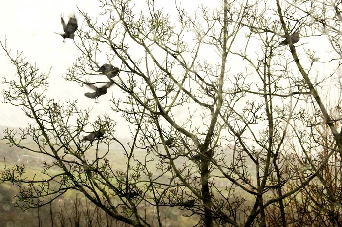 Flying Bird Animals In The Wild Animal Themes No People Tree Nature Bare Tree Animal Wildlife Beauty In Nature Silhouette Branch Outdoors Spread Wings Sky Day Flock Of Birds Branches Jackdaws Calderdale Birds Landscape Tree Cold Temperature Beauty In Nature