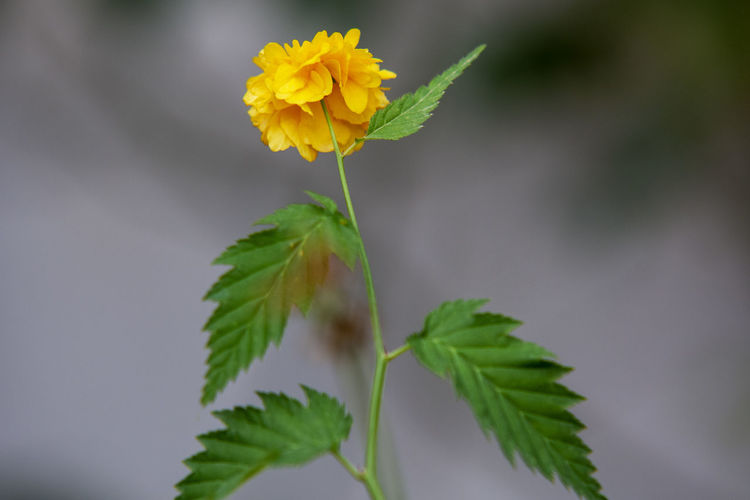 Plant Flower Flowering Plant Freshness Fragility Vulnerability  Beauty In Nature Yellow Close-up Growth Nature Leaf Plant Part Petal Flower Head Inflorescence Plant Stem Focus On Foreground Green Color Outdoors No People