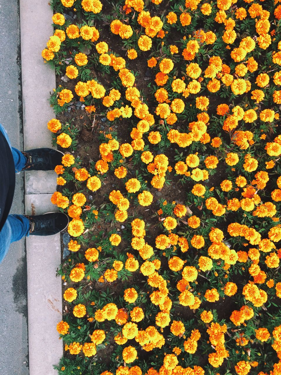 High Angle View Of Yellow Flowers Blooming Outdoors