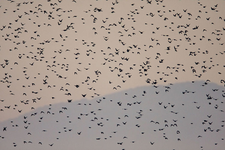 Flock of common starling in the evening