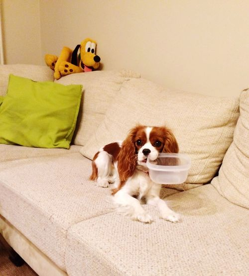 Can I have some more.. Cute Cute Pets Dog Ilovemydog Cavalier King Charles Spaniel Cavlife Pets Burgunde Bestfriend