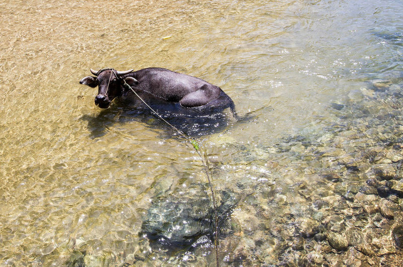 Buffalo taking a bath. Animal Animal Photography Animal Themes ASIA Backpacking Bath Time Buffalo Nature Photography No People One Animal Philippines River Sabang Travel Destinations Travel Photography Traveling Traveller Travelling Vacation Water Water Buffalo Wanderlust