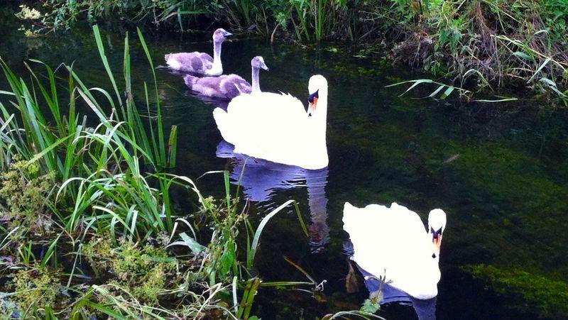 Swans Birds Summer Cignets Mother Father Children