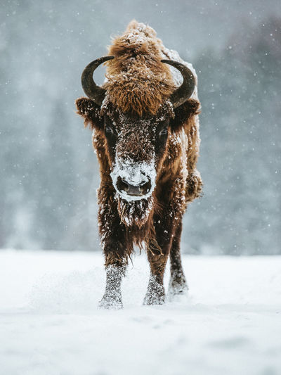 Portrait Of Highland Cattle Standing On Snow Covered Field