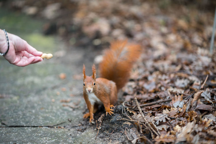 Squirrel on a hand