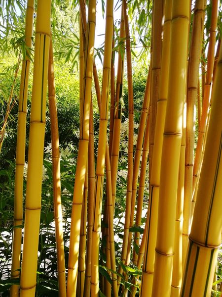 Bamboo Grove Bamboo - Plant Day Tree No People Nature Outdoors Nature Lover Palmengarten Frankfurt Bamboos Bamboo Tree Bamboo Trees Nature Collection Nature_perfection Naturephotography Nature Photography Nature_ Collection  Natur Forest Naturelovers Beauty In Nature Nature Tree Yellow