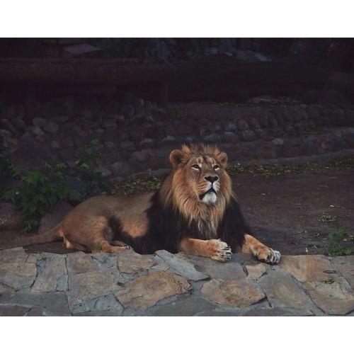 Lion Big Cat Wild Animal Zoo