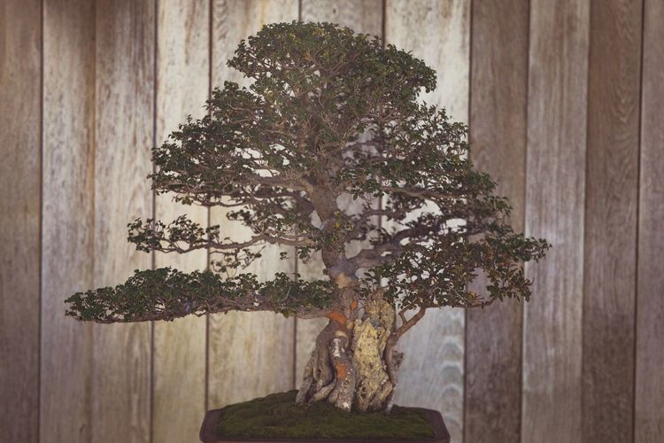 Indoors  Bonsai Tree No People Growth Plant Wood - Material Home Interior Table Tree Nature Close-up Day Architecture Garden