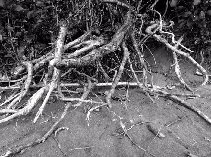 Tree Root Nature Growth Spreading Outdoors WoodLand Scenics Sand Botany Beauty In Nature Woods Patterns In Nature Shapes In Nature  Views Perspective Black And White
