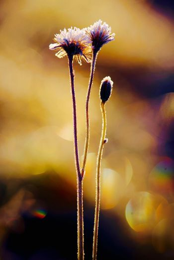 The golden hour of sugarcoated flowers Nature Fragility Frozen Flower Beauty In Nature Golden Hour Close-up Freshness Colorful Gold ArtWork Taking Photos Light And Shadow Exceptional Photographs Nature_collection Simplicity Minimalism Art Sunlight Arctic Morning Light Magic Tranquility Edited On IOS PENTAX K-1