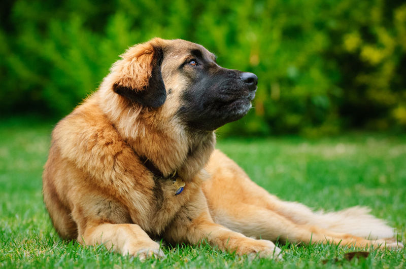 Leonberger dog outdoor portrait Leonberger Leonberger Dog Animal Animal Head  Animal Themes Canine Day Dog Green Background Looking No People One Animal Outside Park Pets